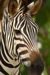 zebra_index